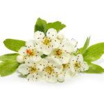 fleurs et feuilles d'Aubépine