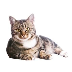 european cat lying
