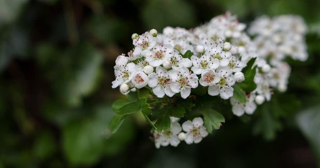 plante aubépine