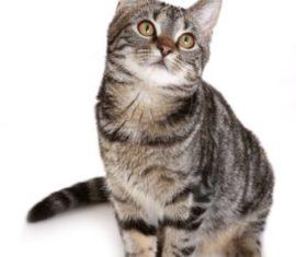 Cas clinique : diarrhée chronique chez un jeune chat